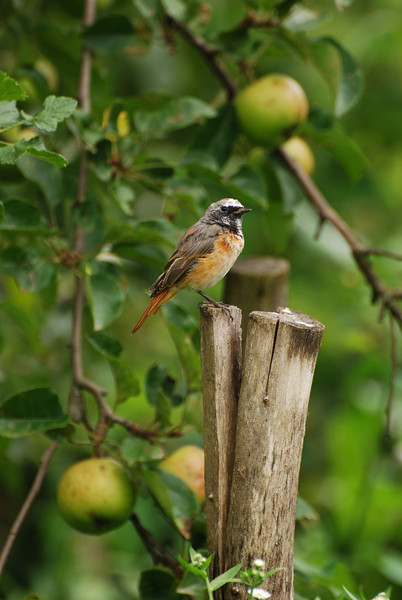 Redstart and apple tree, Slovakia