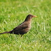 Blackbird, Islay
