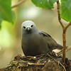 Brown noddy on nest, Aride