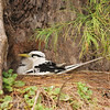 Tropicbird with chick, Aride
