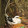 Tropicbird on nest, Aride