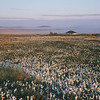 Moine Mhor and cotton grass, Islay