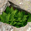 Ferns in rock, Islay