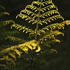 Fern in evening light, Islay
