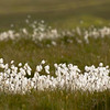 Cottongrass, Islay