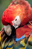 Scarlet Macaw grooming his Feathers