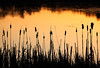 Cattails - Aurora Lake (Northern Highland American Legion State Forest - Wisconsin)