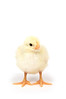 A baby yellow chicken standing on a white background