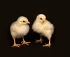 Two baby chickens standing and looking to the right on a black background