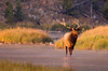 A bull elk stands in a stream at sunrise in Yellowstone National Park.