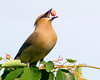 A cedar waxwing eats ripe berries out of a serviceberry tree on a spring evening in Central Illinois. Cedar Waxwings travel in small flocks searching for food.