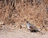 Gambel's quail standing near the edge of the brush in New Mexico