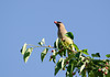 Cedar waxwing eats service berries from atop a tree