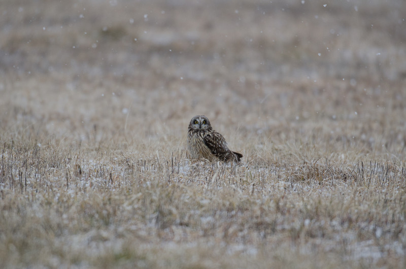 Short-eared owl perched on a ground in a heavy winter snowstorm.