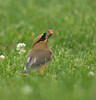 Cedar waxwing prepares to eat a service berry in meadow