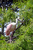 Roseate spoonbill perched in a tree in Florida