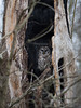 A barred owl sitting inside of hollow dead tree in the woods
