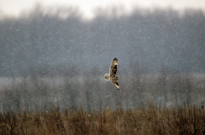 Short-eared owl in flight during a heavy winter snowstorm.
