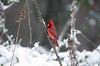 Male northern cardinal perched on a branch during a winter snowstorm