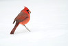 Northern cardinal sitting on show covered ground after winter storm