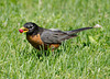 An American robin eating a berry in the grass