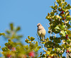 Cedar Waxwing sitting in holly tree with blue sky
