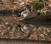 Wood duck on pond