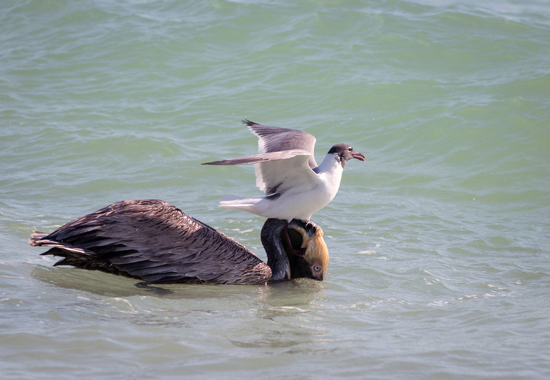 Brown pelican and sandwich tern