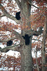 Four black bear cubs climb a tree in Smoky Mountain National Park
