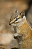 A yellow mantled ground squirrel - which looks similar to a chipmunk - in Rocky Mountain National Park