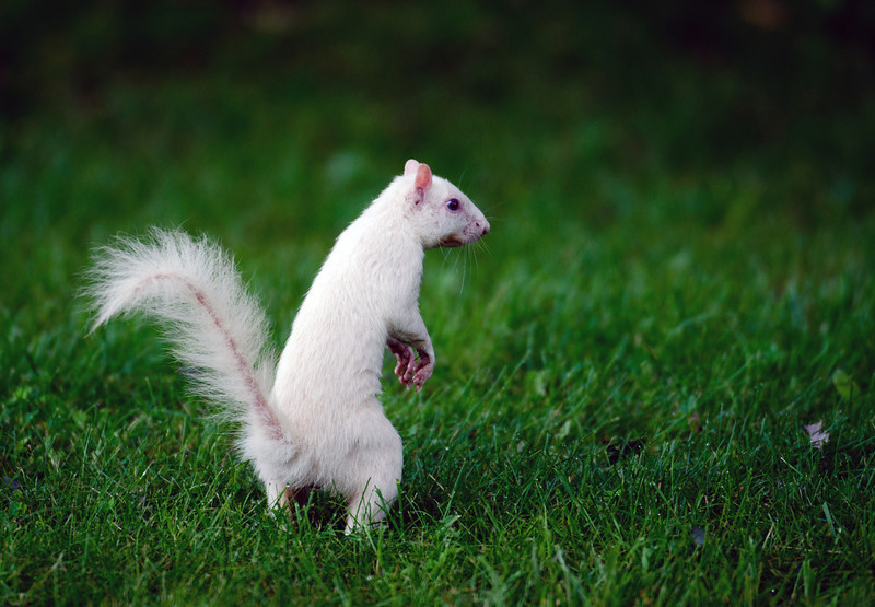 Rare white squirrel feeding on the ground in the city park in Olney, Illinois, one of the few places were a large number of them exist. The squirrels are not albino, but have white fur from leucism.