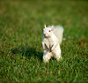 White squirrel in the grass