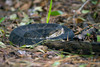 Poisonous water moccasin coiled on the ground
