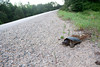 Common snapping turtle laying eggs in loose gravel along the edge of a roadway
