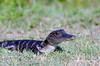 A baby American alligator in the grass along the shoreline of a Florida swamp