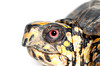 Face of a box turtle on white background