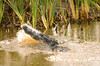 Small fish leap out of the water as an alligator feeds in a Florida waterway