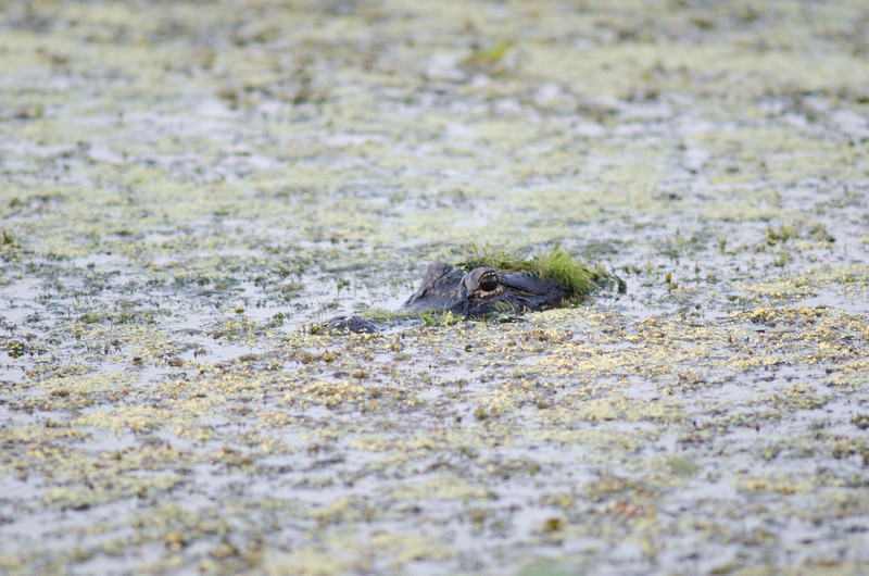 An American alligator in a moss covered swamp