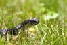 A black snake makes its way through the grass in a meadow.