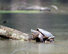 A common snapping turtle suns on fallen log in small Illinois pond