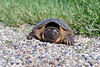 A snapping turtle sits in gravel along the side of a road