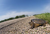 A snapping turtle prepares to try and cross a country road.