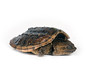 A baby snapping turtle sitting on a white background
