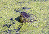 Snapping turtle peeking through duckweed on a still pond