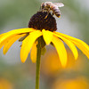 a bee pollinates a black-eyed susan flower in summertime. side shot macro