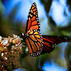 a close up shot of a butterfly on a butterfly bush. very shallow depth of field. focus on wing closest to camera.