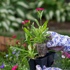 action of a gardner grabbing an annual flower to plant. scene takes place in garden. shallow depth of field
