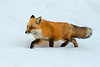 Red fox walking through deep snow...................................to purchase print or digital file e mail DFriend150@gmail.com