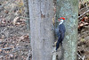 Pileated Woodpecker looking for food ............................Prints or digital files can be purchased by e mailing DFriend150@gmail.com