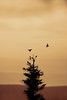 birds flying and roosting in tree Dolly Sods http://dan-friend.artistwebsites.com/index.html